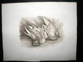 Howitt 1811 Antique Etching. Ducks